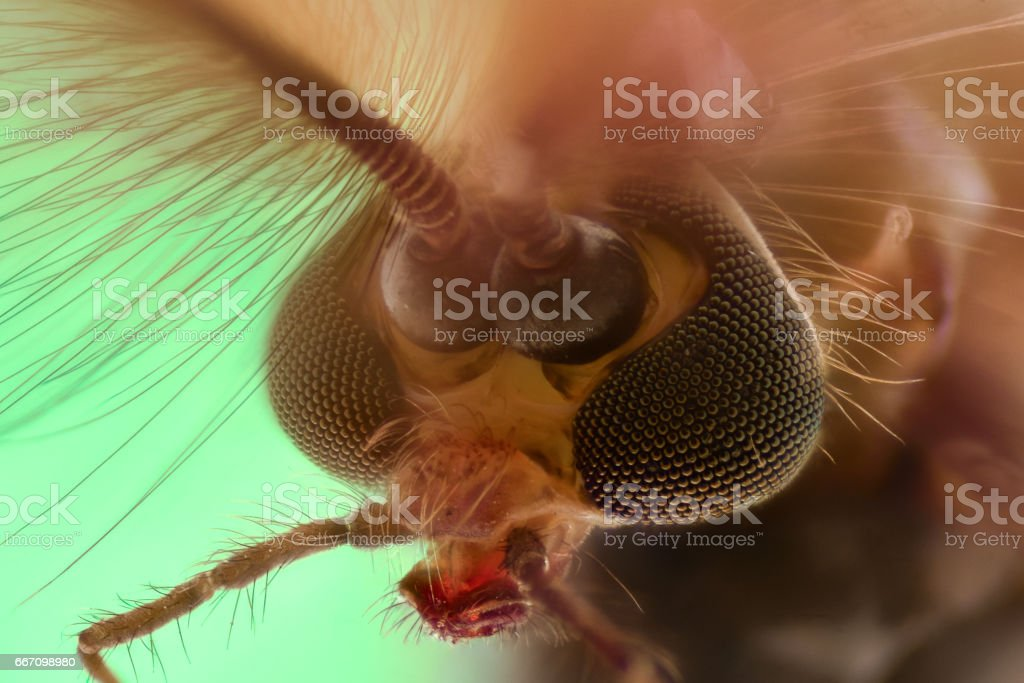 Extreme magnification - Mosquito head, Chironomus, front view stock photo