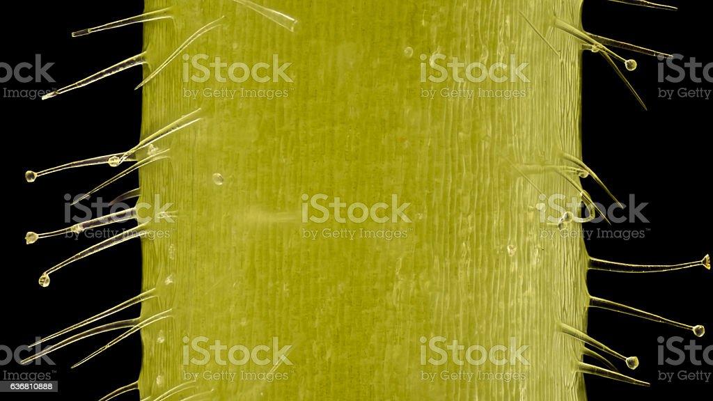 Extreme magnification - Pelargonium, Glandular hairs and tector  at 20x stock photo