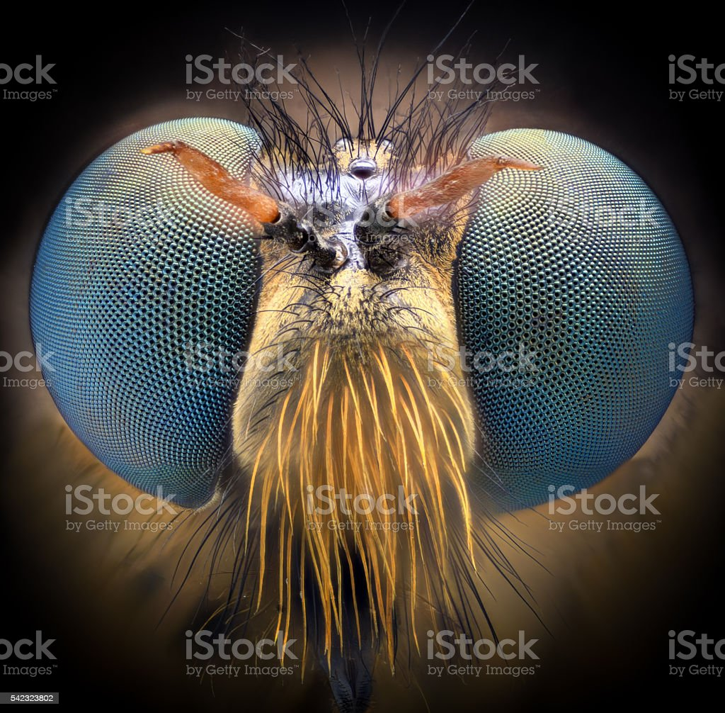 Extreme magnification - Robber fly, front view stock photo
