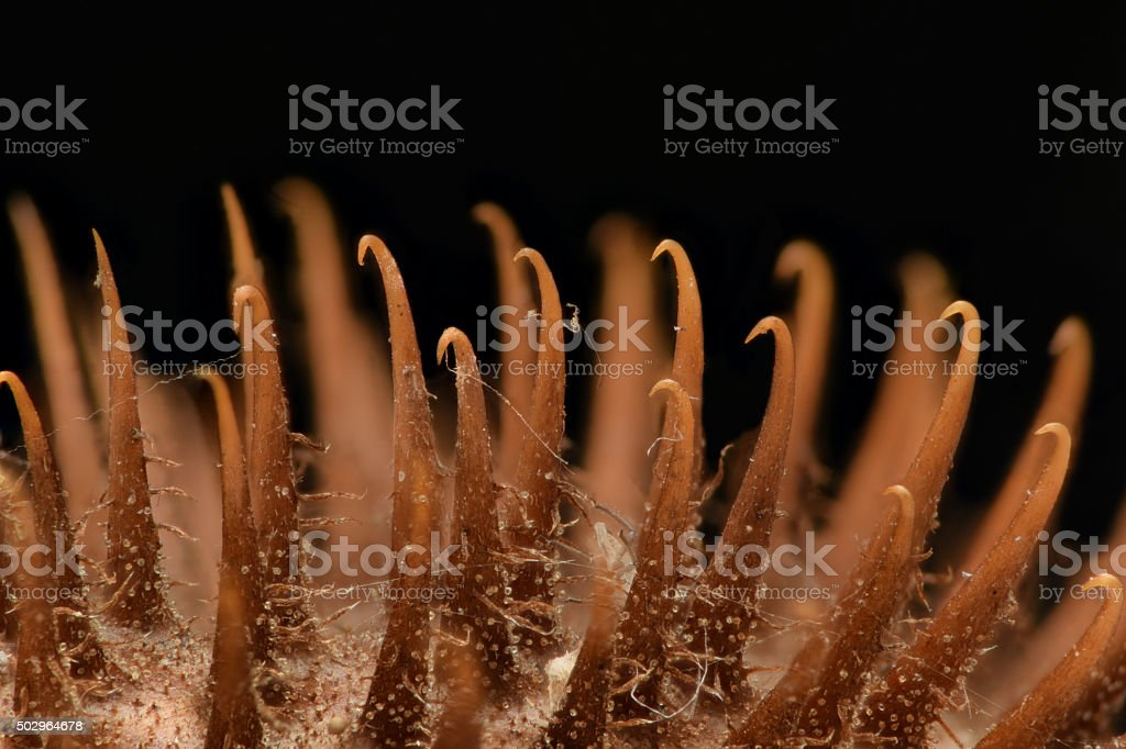 Extreme magnification - Thistle with sharp hooks stock photo