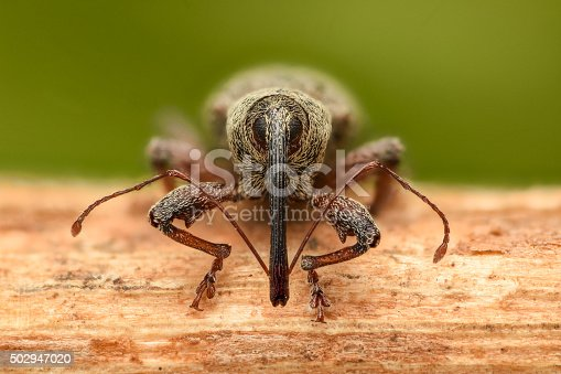istock Extreme magnification - Weevil on a stick, front view 502947020