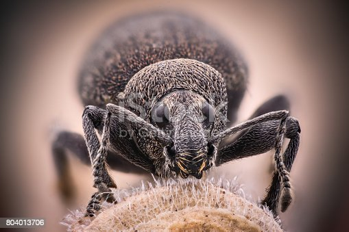 istock Extreme magnification - Weevil 804013706