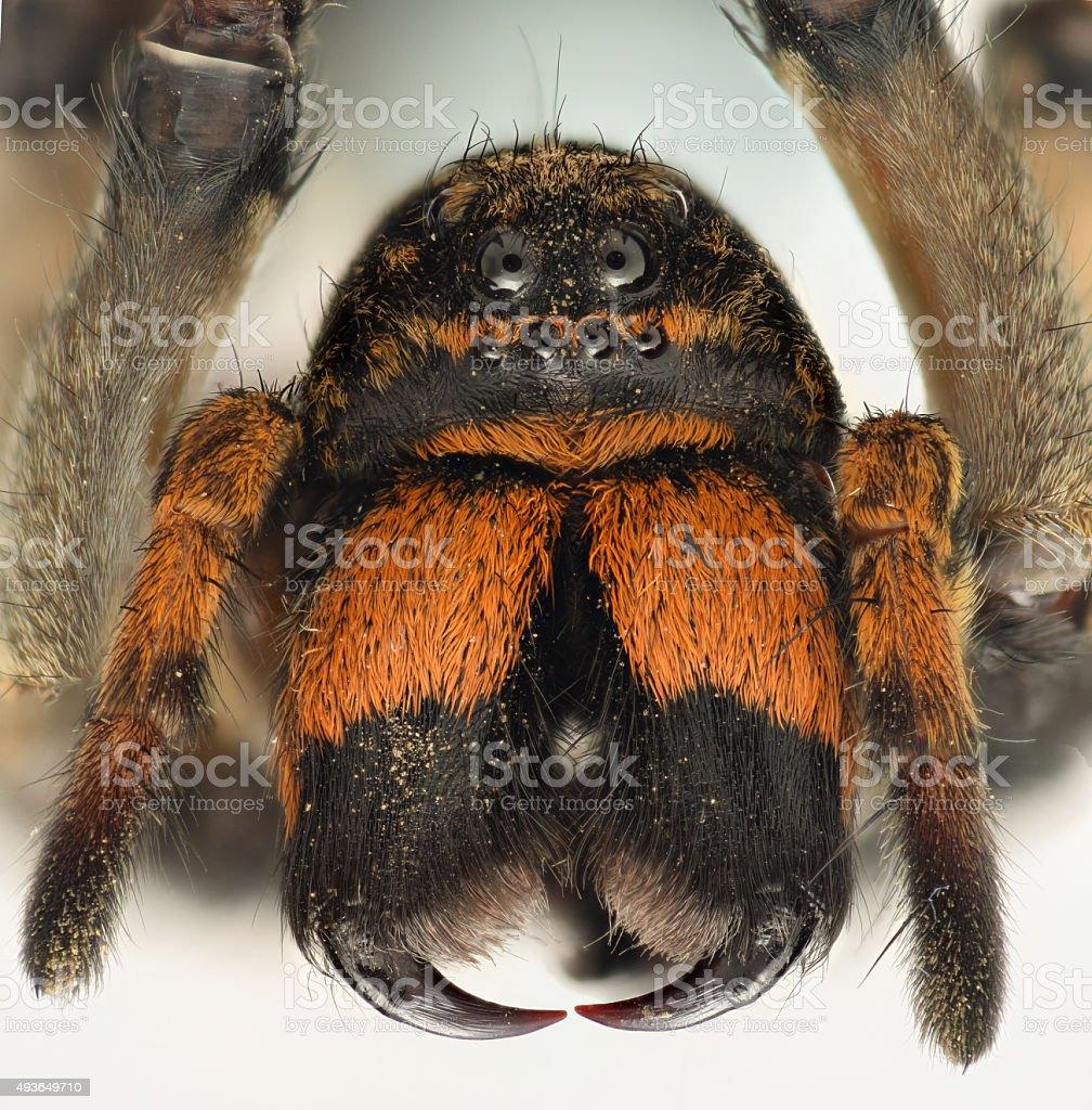 Extreme ampliação-Aranha Armadeira Vista frontal - foto de acervo