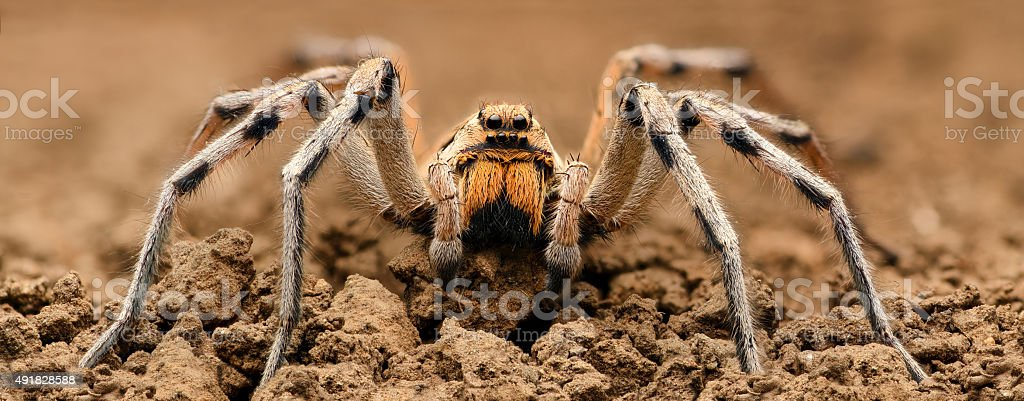 Extreme magnification  - Wolf Spider, full body shot, high resolution stock photo