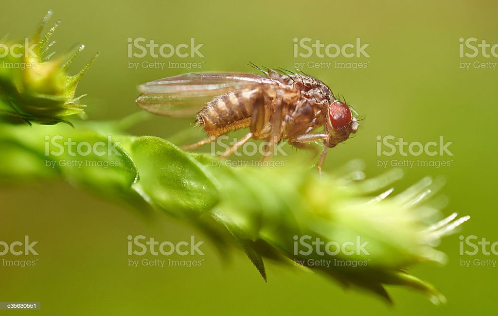 Extreme microscope picture fruit fly stock photo