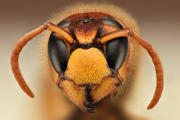 primo piano estremo di vespa testa elegante - calabrone ape foto e immagini stock