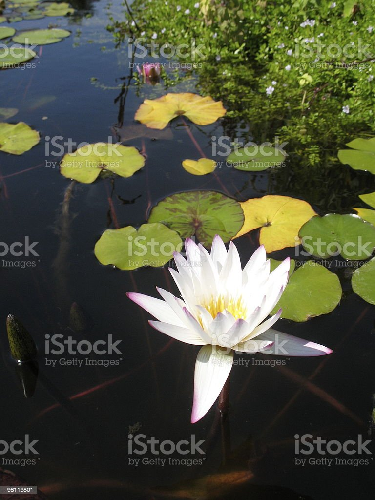 extreme water lily royalty-free stock photo