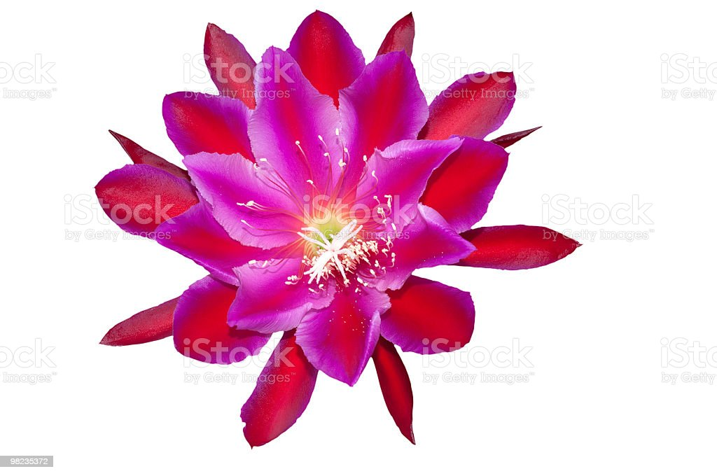 Extremely beautiful and rare large red cactus flower Epiphyllum Thalia stock photo