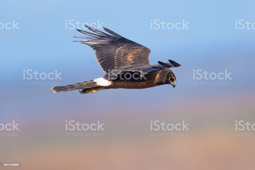 Extremely close view of a hen harrier, seen in the wild near the San Francisco Bay stock photo