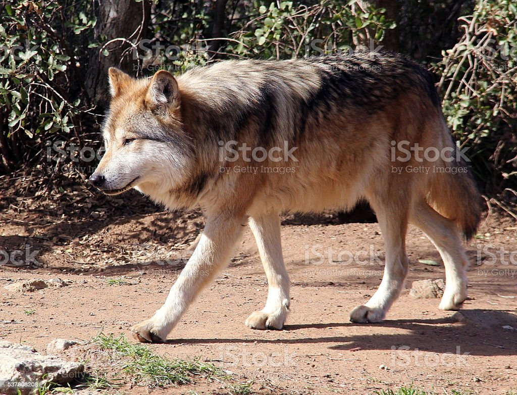 Extremely Rare Endangered Mexican Gray Wolf stock photo