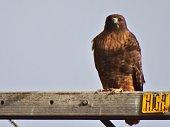 Northern California's Klamath Basin.\nButte Valley National Grassland.\nKlamath National Forest Edge.\nMeiss Lake Wildlife Refuge.\n\nAdult Ferruginous Hawk (Brown-Orange Morph).\nButeo Regalis/January 2014.