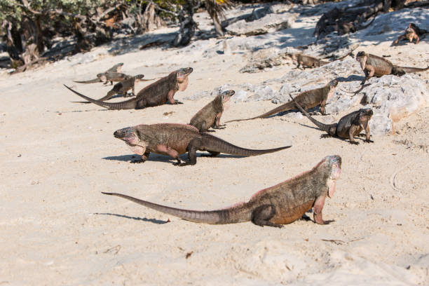 exuma island iguanas on a sandy beach; endemic species of iguanas - exuma foto e immagini stock