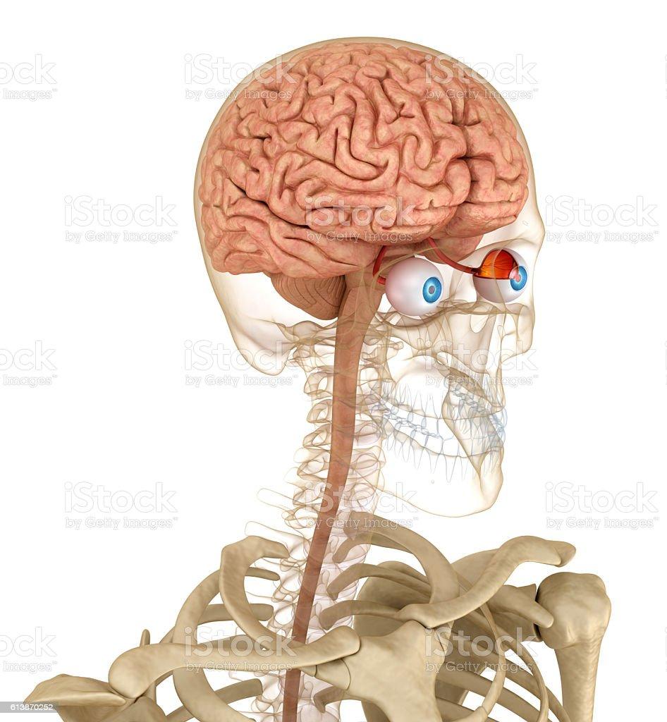 Eye anatomy and skeleton isolated on white. 3D render stock photo