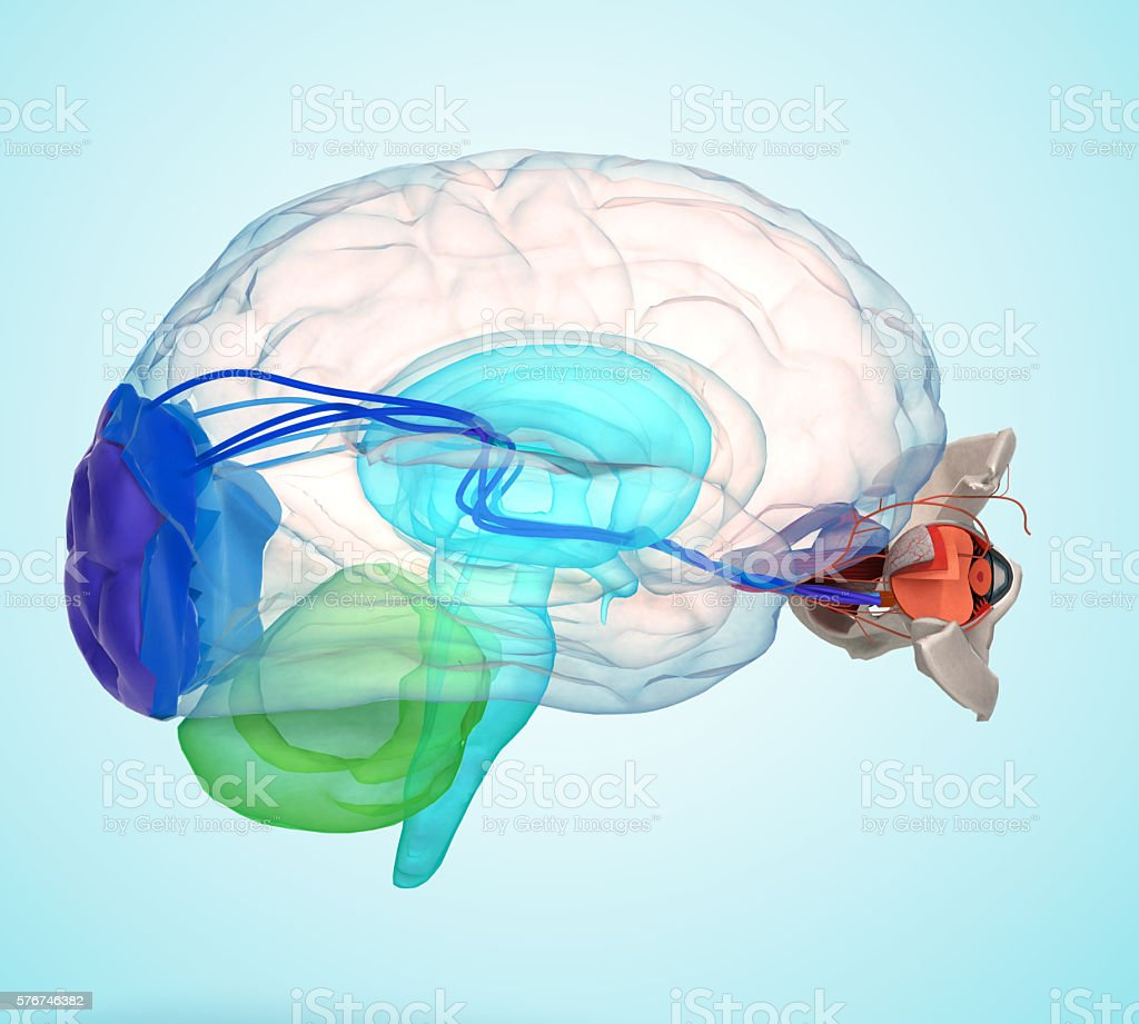 Eye anatomy and structure, muscles, nerves and blood vessels of stock photo