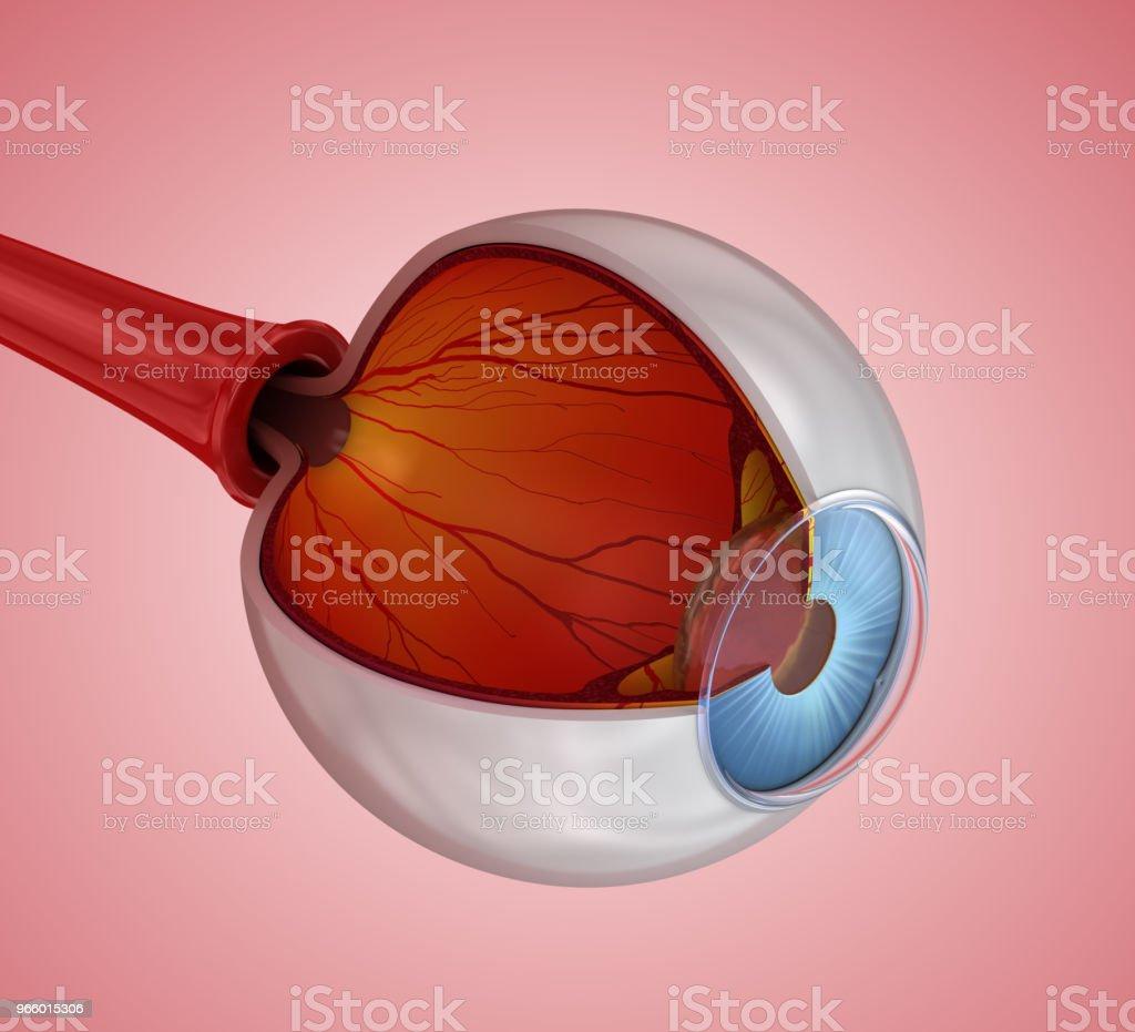 Auge-Anatomie - innere Struktur, 3D illustration - Lizenzfrei Anatomie Stock-Foto