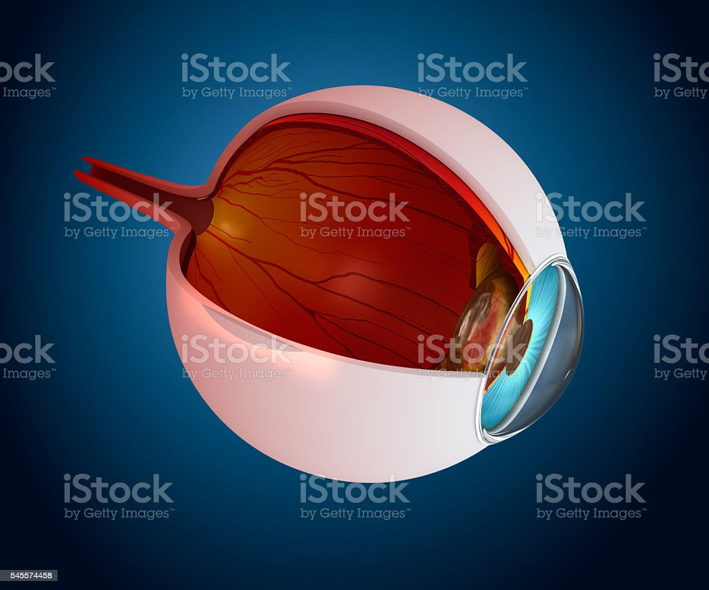 Eye anatomy - inner structure isolated on white stock photo