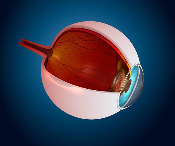 auge-anatomie-innere struktur isoliert auf weiss - illustration optician stock-fotos und bilder