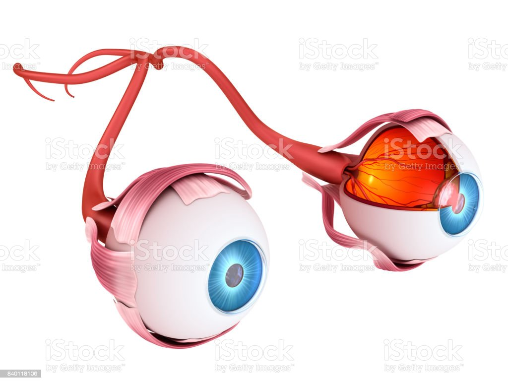Eye anatomy - inner structure, Medically accurate 3D illustration . stock photo