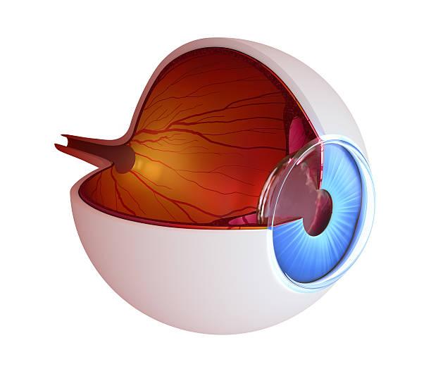 Auge-Anatomie-innere Struktur – Foto