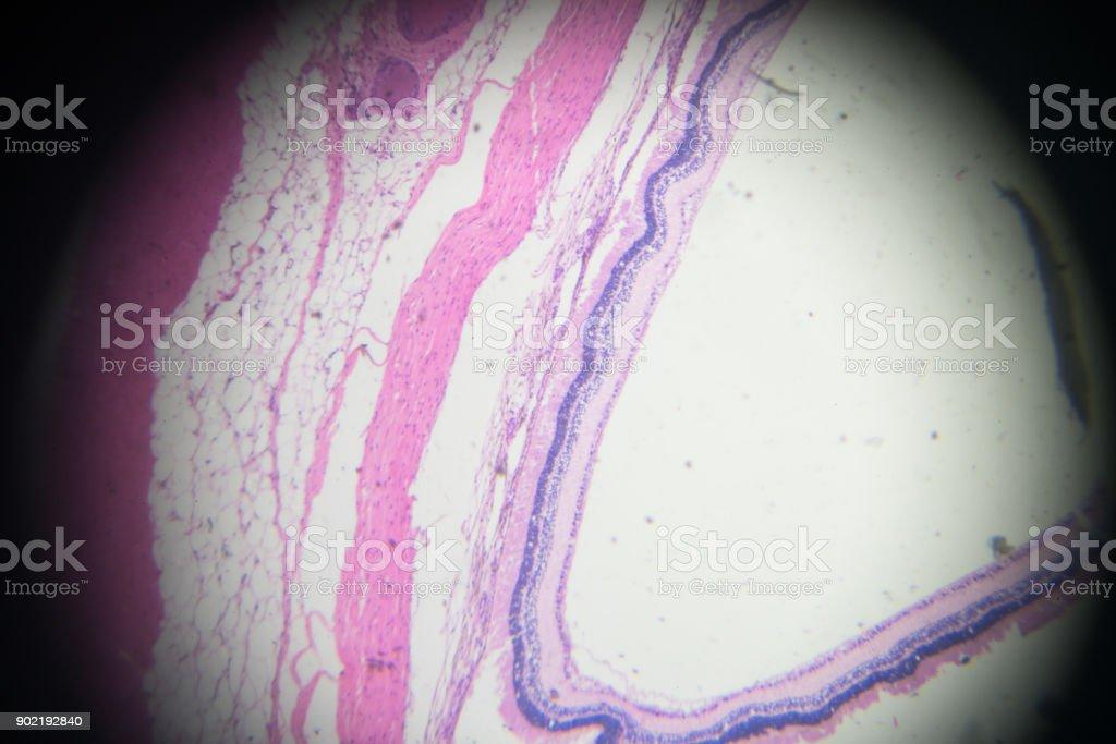 eye bowl biopsy under light microscopy stock photo