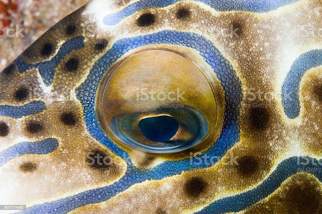 Eye Close-up of a Scrawled Filefish stock photo