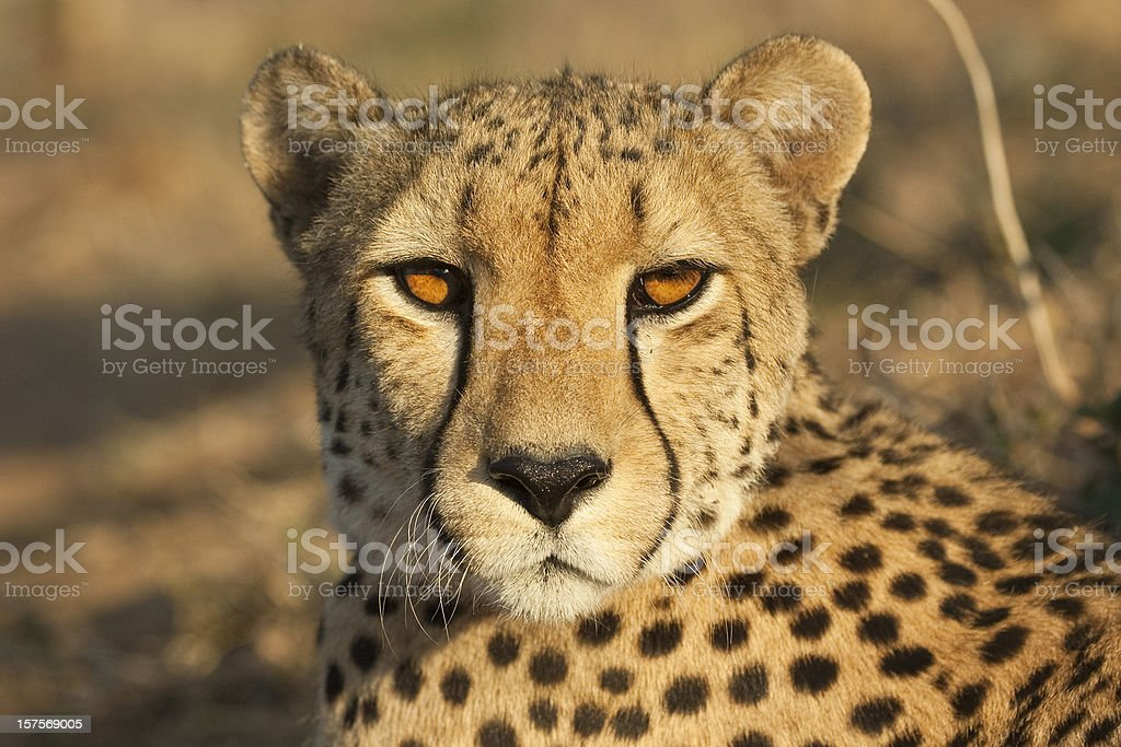 Eye contact with a cheetah stock photo