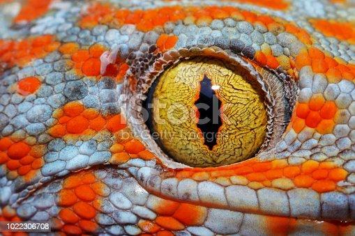 Colorful Toke's gecko amazing eye macro.