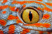 Colorful Toke's gecko amazing eye macro.