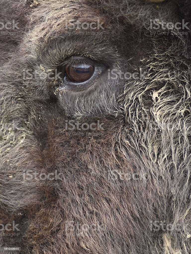Eye of a Bison stock photo