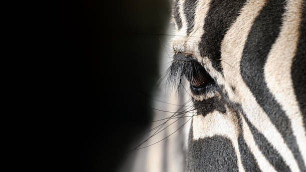eye of a zebra - zebra stock photos and pictures