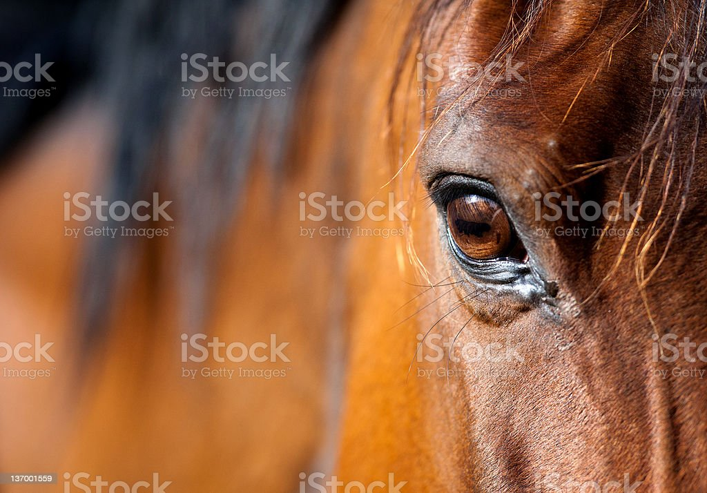 Eye of Arabian horse stock photo
