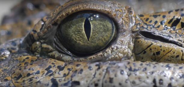 Eye of crocodile picture id830979094?b=1&k=6&m=830979094&s=612x612&w=0&h=ssbqvy 8t1ql69yu9tklv6ny8uekw7ionggryq2vvya=