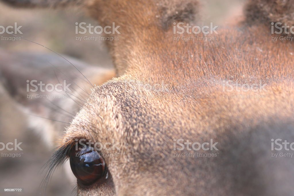 eye of deer looks into camera royalty-free stock photo