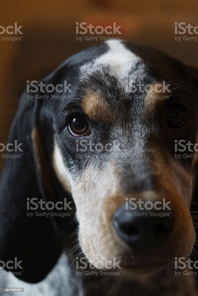 Eye of Dog stock photo