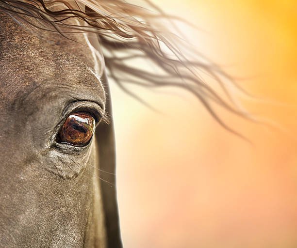 Eye of horse with mane in sunlight stock photo