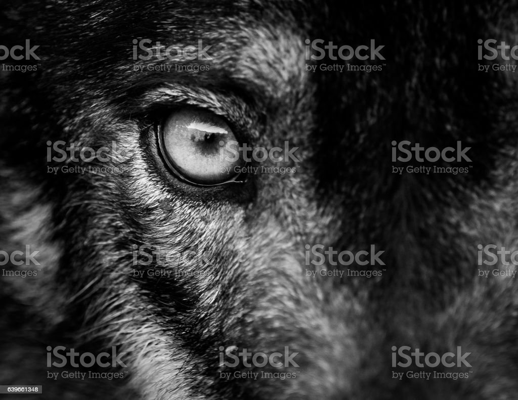 Eye of iberian wolf (Canis lupus signatus) stock photo