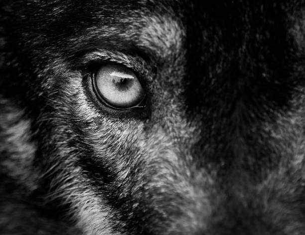 eye of iberian wolf (canis lupus signatus) - loup photos et images de collection