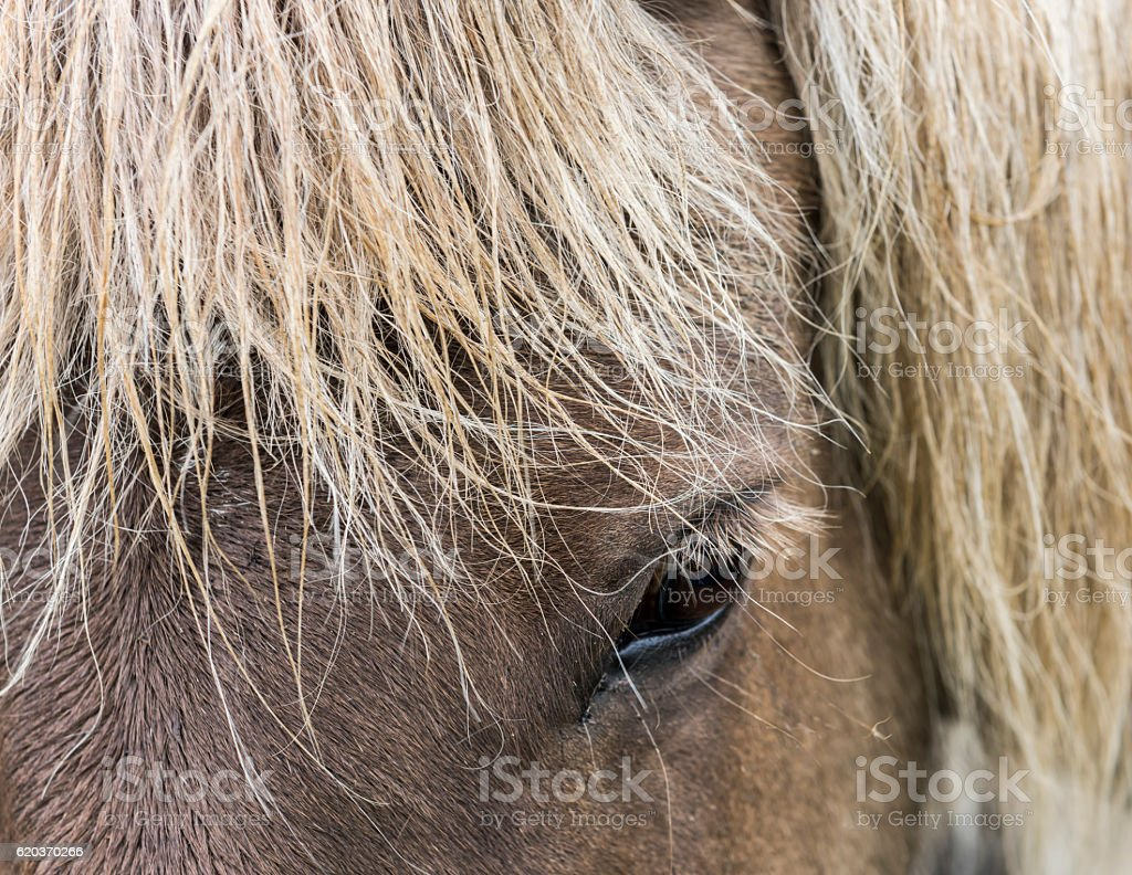 Eye of Icelandic Horse zbiór zdjęć royalty-free