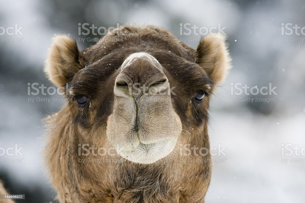 Eye of the Camel royalty-free stock photo