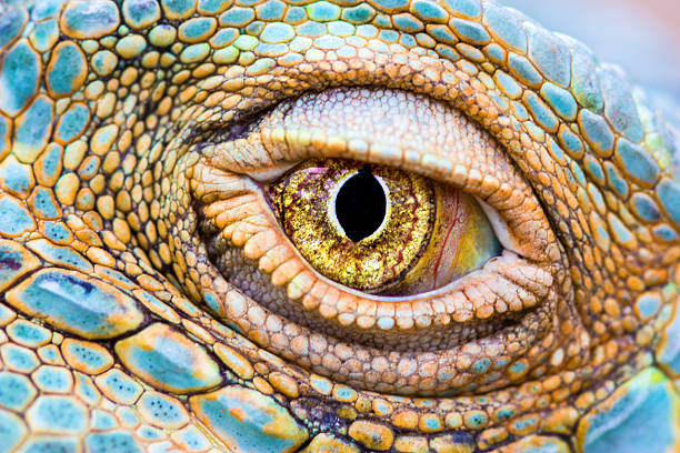 Eye of the dragon Close-up of the eye of a Green Iguana (Iguana iguana). animal eye stock pictures, royalty-free photos & images
