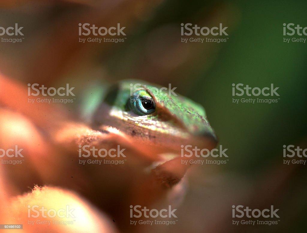 Eye of the Lizard royalty-free stock photo