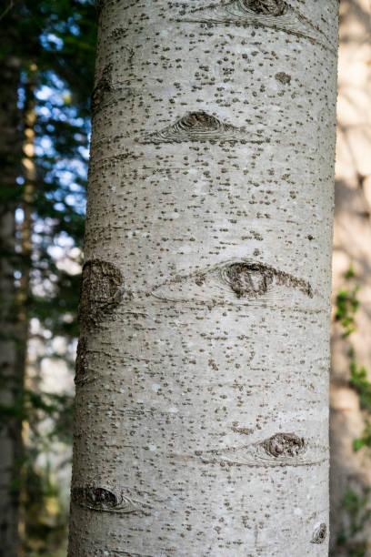 Eye of the Nature, Close-up of Alder knots, Alnus Serrulata stock photo