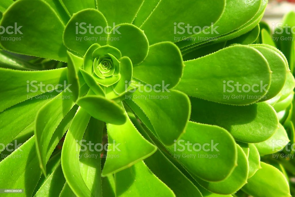 Eye of the Succulent stock photo