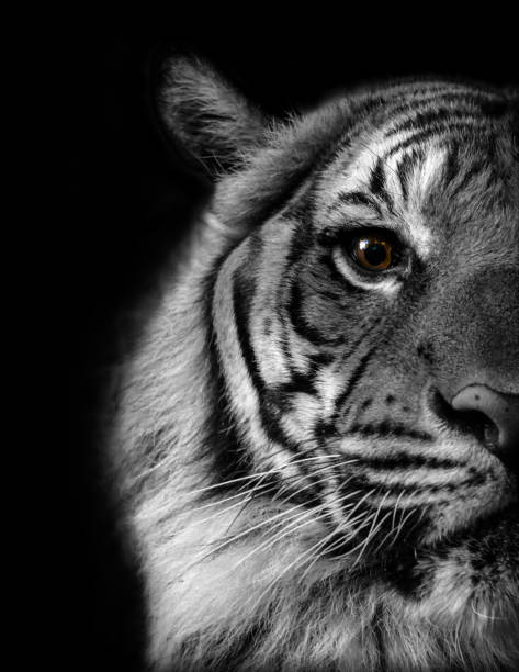 Eye of the Tiger stock photo