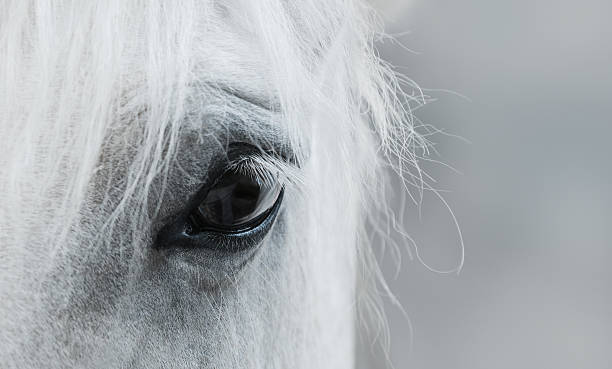eye of white mustang - animal eye stock pictures, royalty-free photos & images