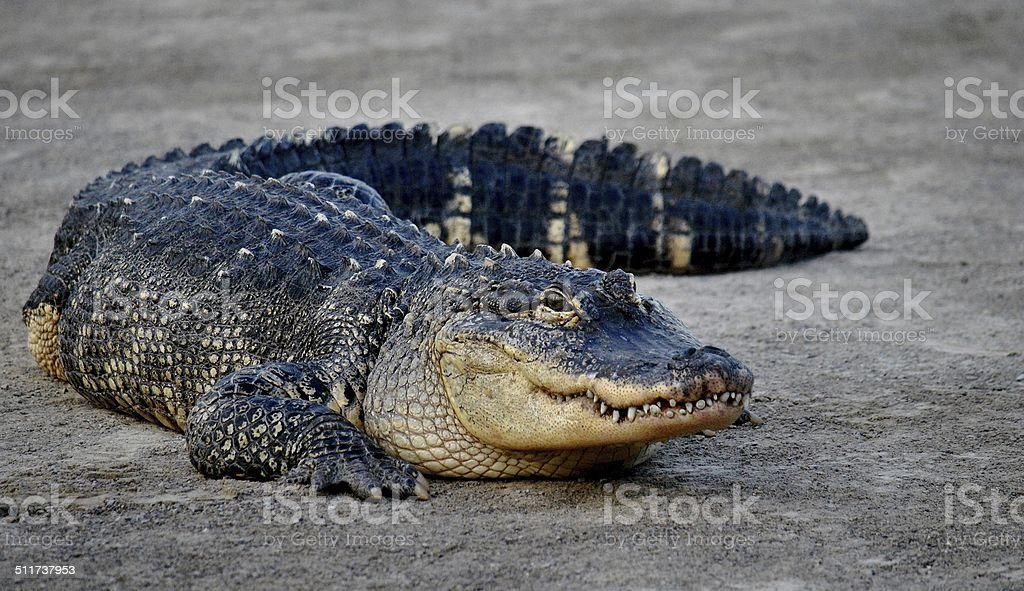 Eye On The Camera - Female Alligator stock photo