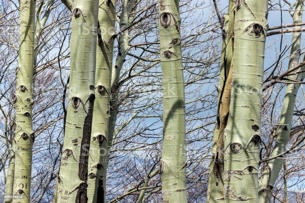 eye pattern on green poplar tree trunks stock photo