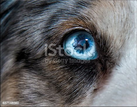 Closeup photography of a Siberian Husky wih intense blue eyes.