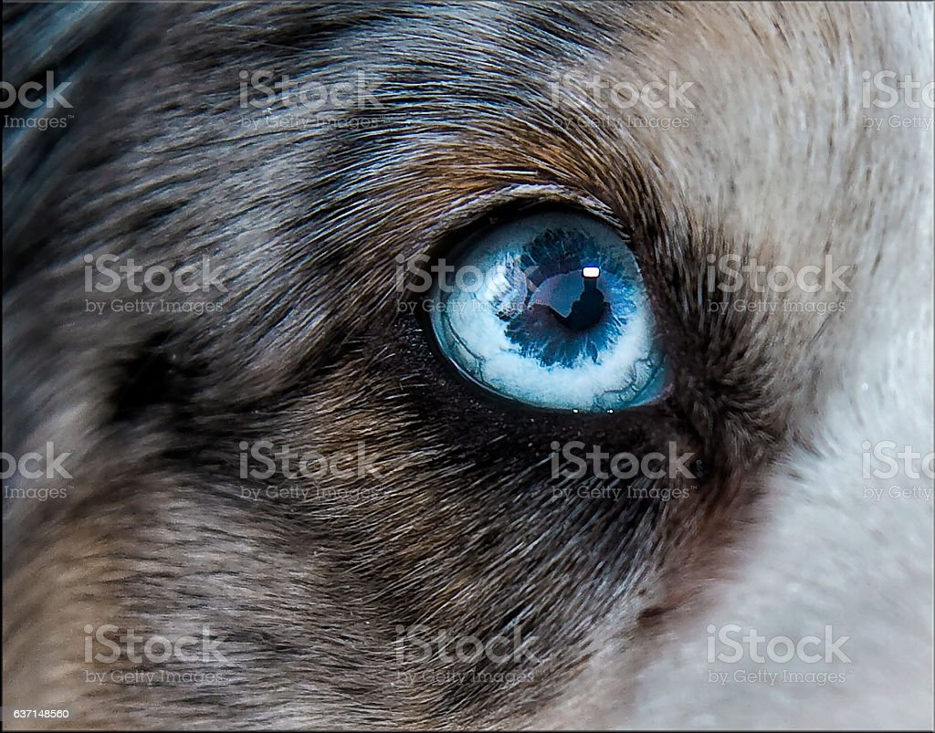 Eye, Siberian Husky stock photo