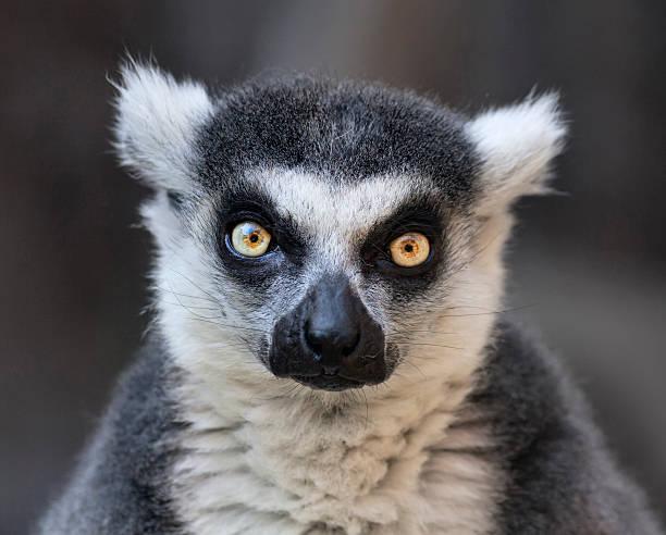 mirar a los ojos contacto con el lémur de cola anillada, madagascar cat. - gato civeta fotografías e imágenes de stock